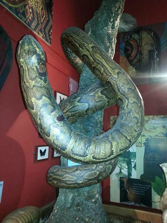 Ilfracombe Museum: Come and meet our huge python in the Palmer Room!