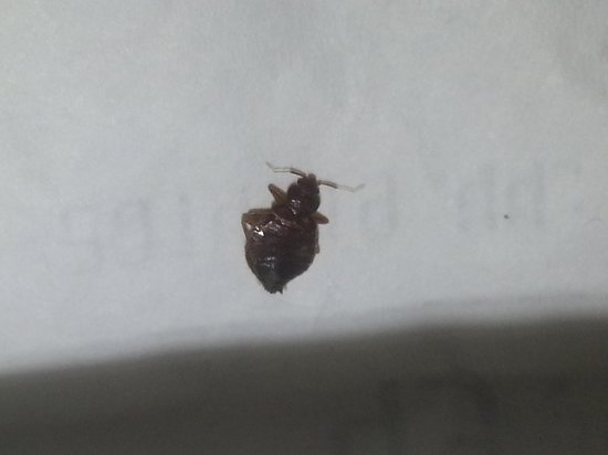 Heeren House : dead bed bug