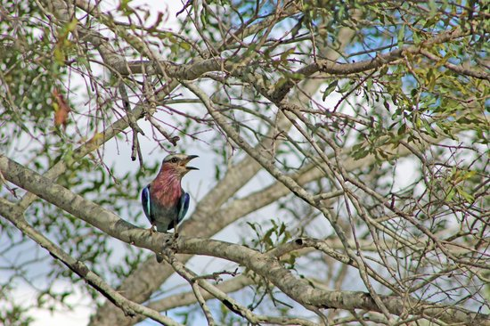 Shumbalala Game Lodge: Lilac Breasted Roller