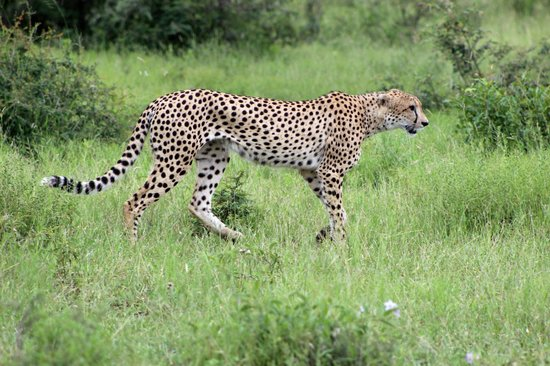 Shumbalala Game Lodge: Cheetah