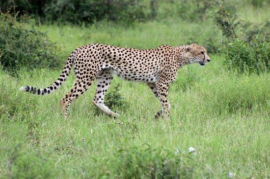 Shumbalala Game Lodge : Cheetah