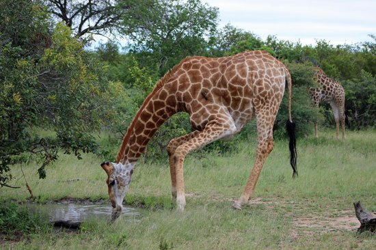 Shumbalala Game Lodge: Thirsty Giraffe