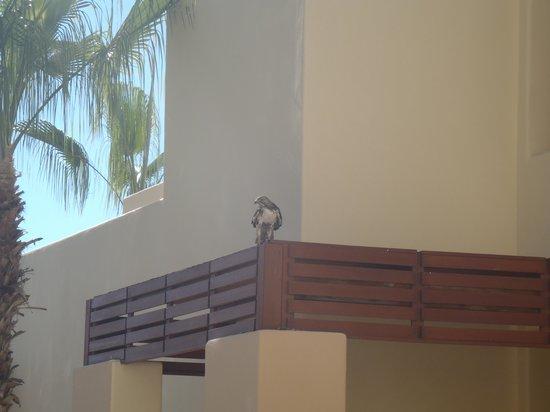 Pueblo Bonito Pacifica Golf & Spa Resort : Hawk next to our room