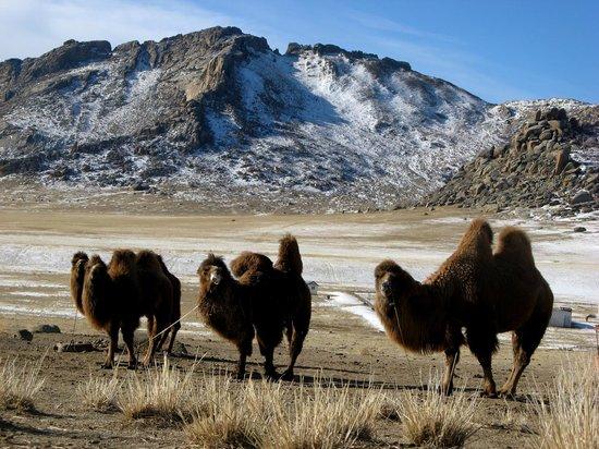Idre Hostel : Camels