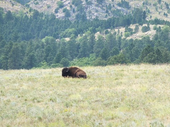 Custer State Park: Old Bull
