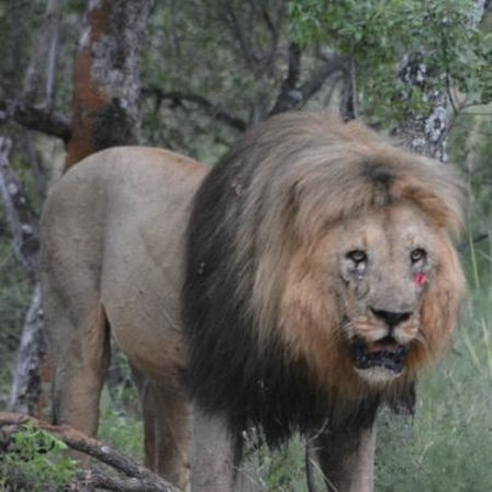 Mabula Game Lodge: The lion