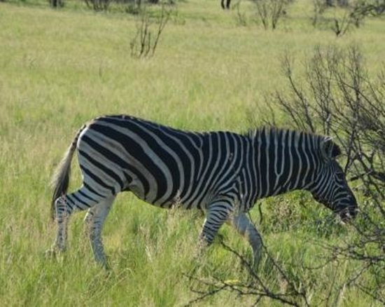 Mabula Game Lodge: Zebra