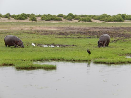 Chobe Game Lodge: Hippos Along the Chobe River on the Namibia Side, A Favorite Feeding Area