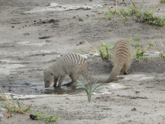Chobe Game Lodge: Ring Tailed Mongoose, Not to be Confused with the Meerkats in the Kalahari