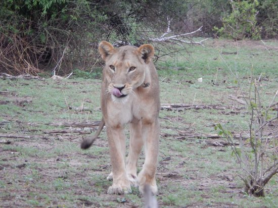 Chobe Game Lodge: This Lion Looks Hungry