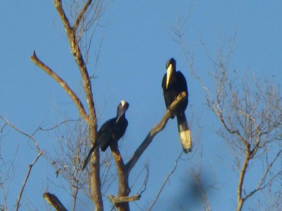 Abai Jungle Lodge: Hornbill couple