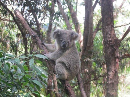 Mountain Edge Studios: Koala