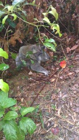 Mountain Edge Studios: Mother & Baby koala