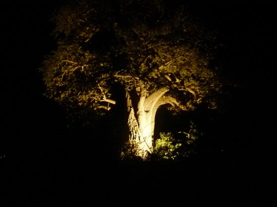 Planet Baobab: The Baobab: among the oldest trees on earth