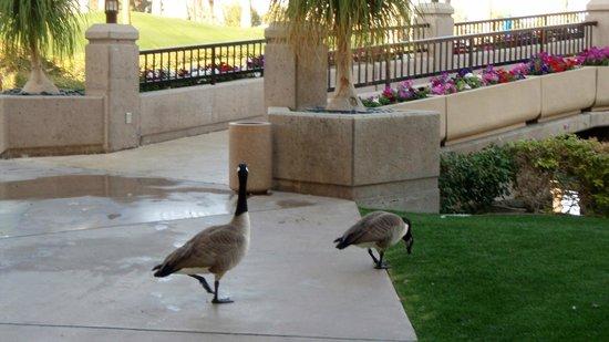 JW Marriott Desert Springs Resort & Spa : Canadian Geese