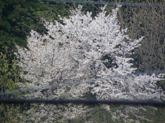 Hirokawa Hotel: 桜の木が見えた
