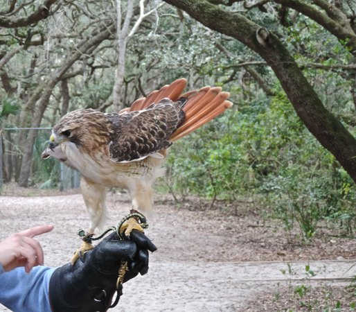 Boyd Hill Nature Preserve : A red tail hawk at the Raptor Center