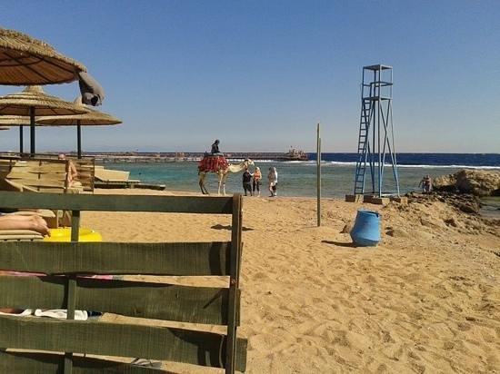 Hauza Beach Resort : camel on the beach