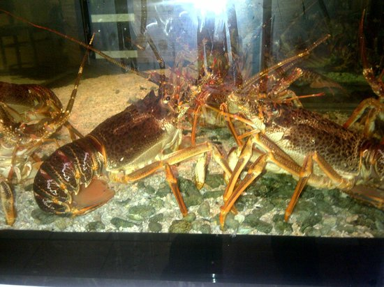 Montego Bay: Live crayfish....freshest ever! Try the crayfish thermidor ( mouth watering )