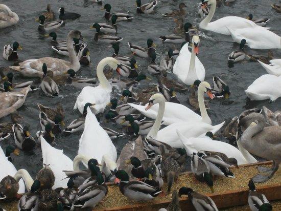 Stockholm Canals: утки и лебеди