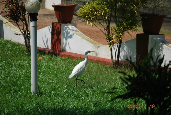 Coconut Creek Farm and Homestay: Cranes....in the garden.What a surprise!!!!!