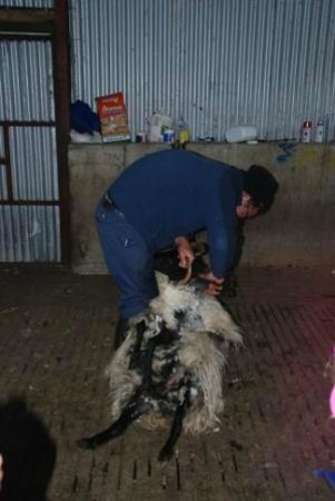 Killary Sheep Farm: La tonte d'un mouton