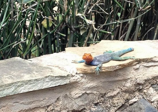 Amboseli Serena Safari Lodge: Colorful lizard