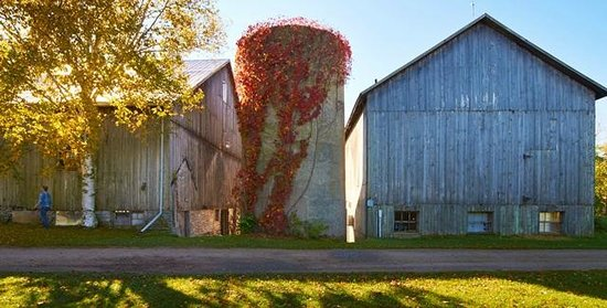 By Chadsey's Cairns Winery and Vineyard : Vine-coverd silo and barns