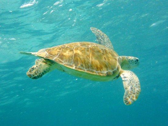 Akumal Dive Shop : Nado con Tortugas en Buceo