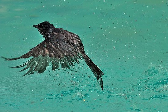Villa Talangama: Drongo dipping in the pool