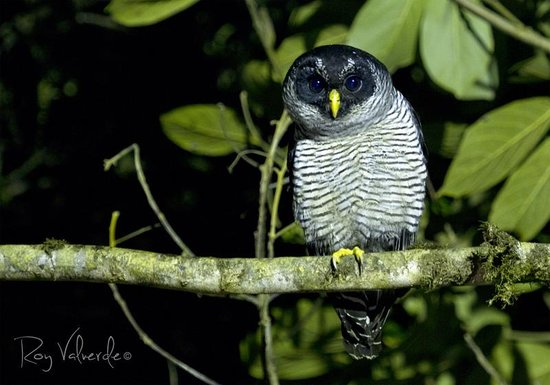 Villa Blanca Cloud Forest Hotel and Nature Reserve: Black and white owl