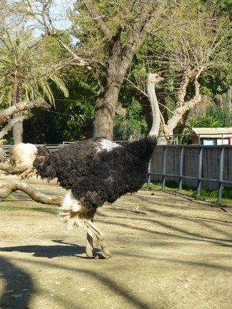 Zoo de Barcelona: ostrich