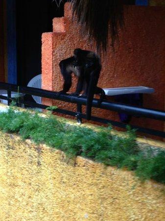 Iberostar Tucan Hotel : monkeys on our balcony railing