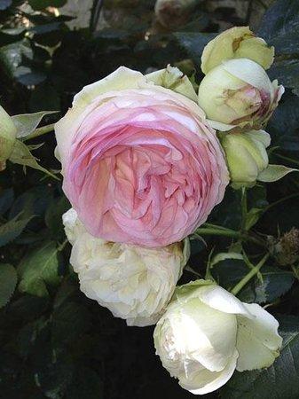 Mas du Clos de l'Escarrat : Andre's Roses