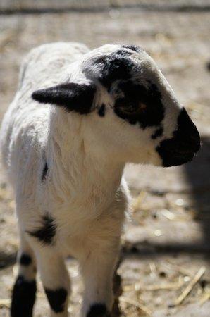 Vilar Rural de Sant Hilari Sacalm: Oveja