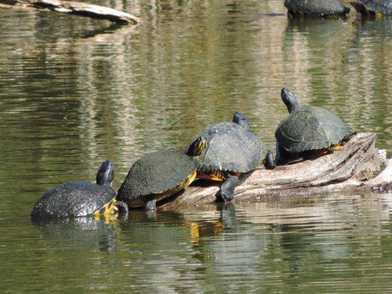 Harris Neck National Wildlife Refuge : As many turtles as gators