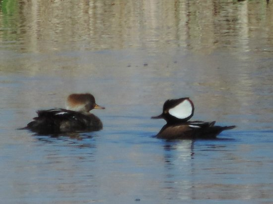 Harris Neck National Wildlife Refuge : Hooded Mergansers