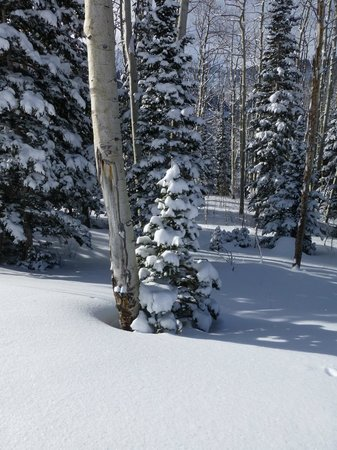 Canyons Village at Park City: pines with fresh coating of snow