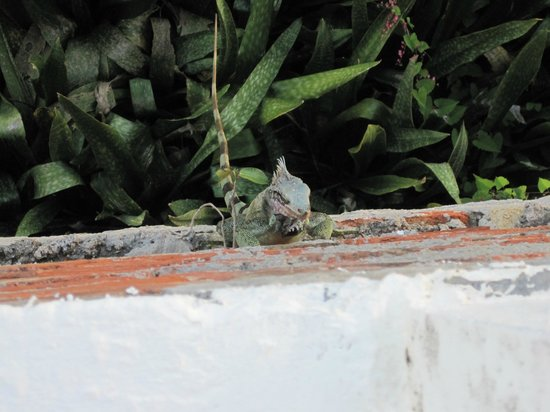 At Home In The Tropics Bed and Breakfast Inn : Iguana on wall beneath sitting deck.