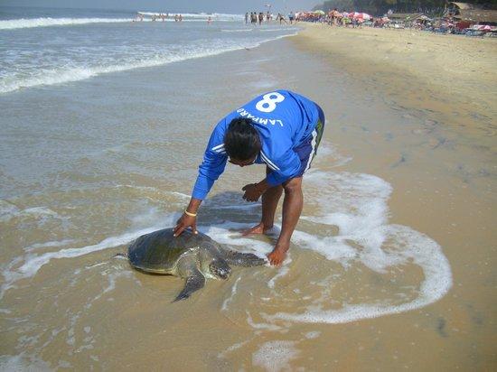 Hotel Colva Kinara : Морская черепаха
