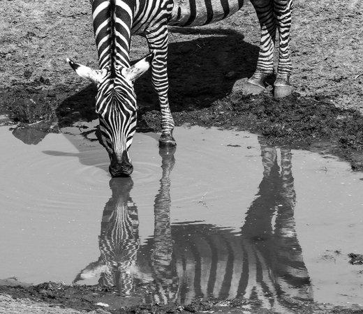 Sarova Salt Lick Game Lodge: Zebra at the hotel's water hole