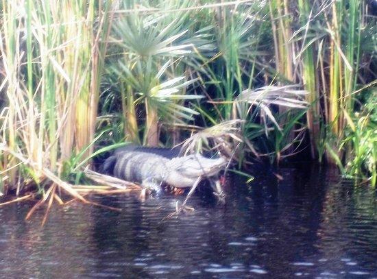 River Queen Cruises : Gator 1
