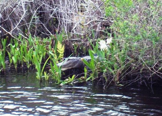 River Queen Cruises : Gator 3
