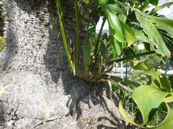 Santa Catarina Park : monsteria deliciosa-swiss cheese plant with  unripe edible fruits