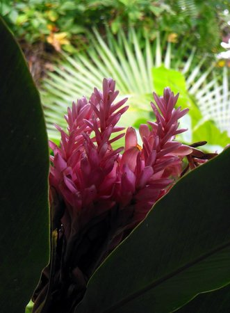 St. Lucia Rain Forest : Pink Ginger Lily