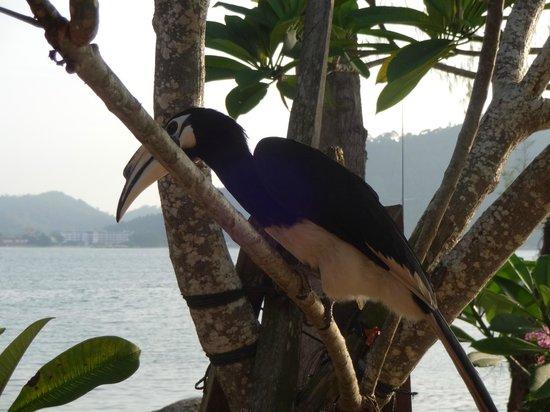 Pangkor Laut Resort: de neushoornvogel