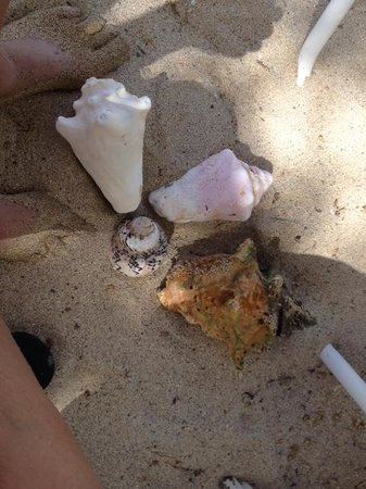 The Buccaneer -- St Croix: Seashell hunting along Grotto Beach