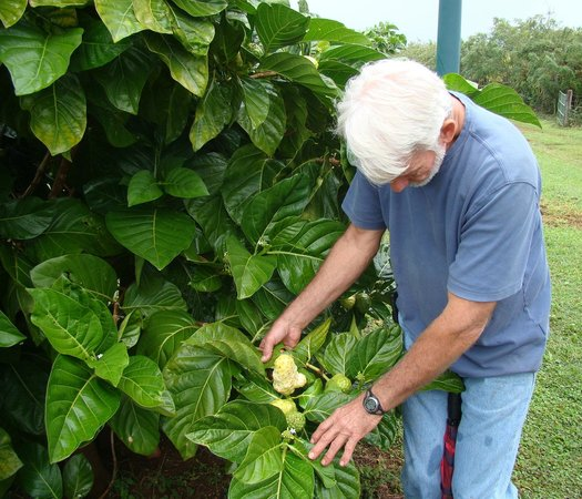 Kaakaaniu Plantation Tours : Steve describing the Noni fruit
