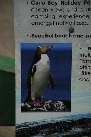 Curio Bay Salthouse: penguin