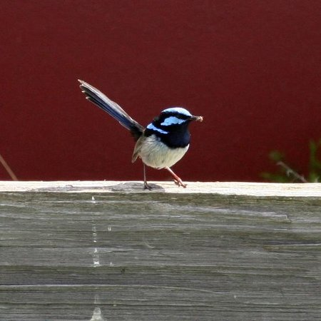 Platypus Riverside Cottage: Blue Wren at Platypus Playground Riverside Cottage